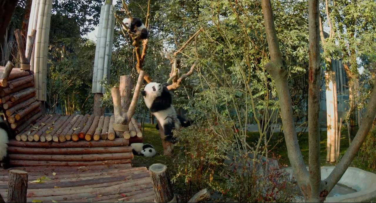 Pandas TV Spot - IMAX (2018) Screen Capture #1